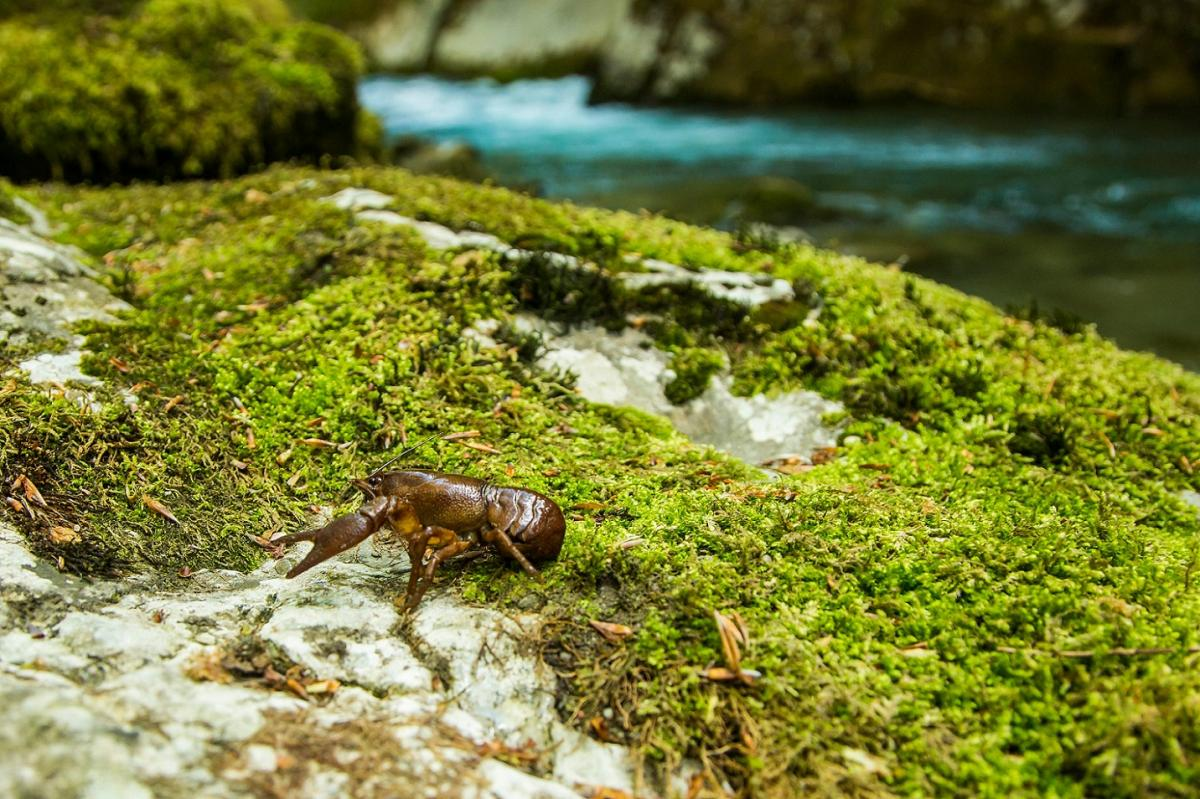 Among other rare species, the endangered white-clawed crayfish finds habitat in the upper Neretva. This species is further threatened by the proposed dams © Amel Emric
